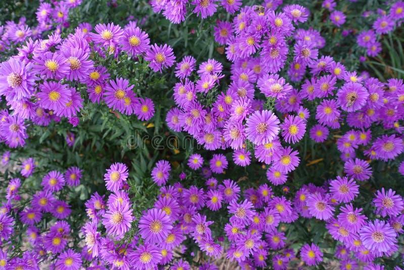 Kwitnący kwiecenie kwiatów tła fiołek I zieleń zdjęcie royalty free