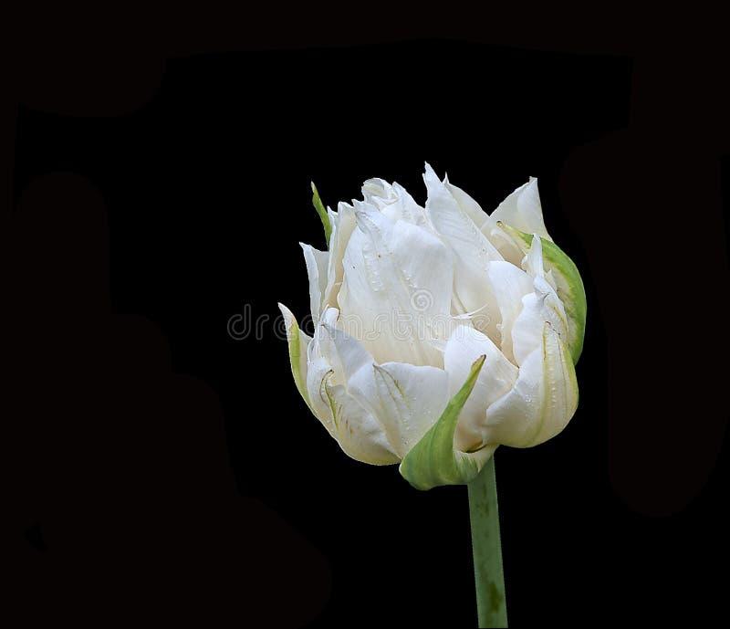 Kwitnący Lodowy tulipan na czarnym tle obrazy royalty free