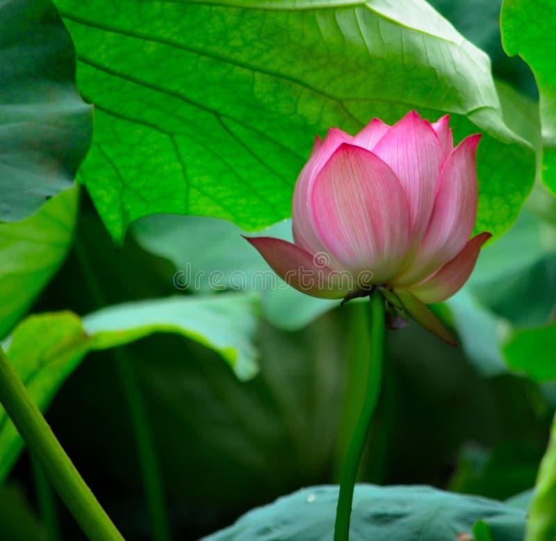 Kwitnący lotos pod liśćmi fotografia royalty free