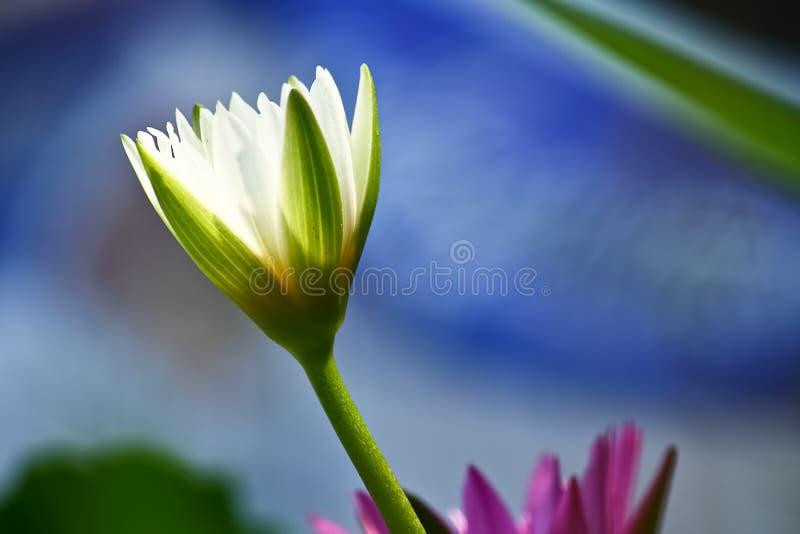 kwitnący lotosowy biel obraz stock