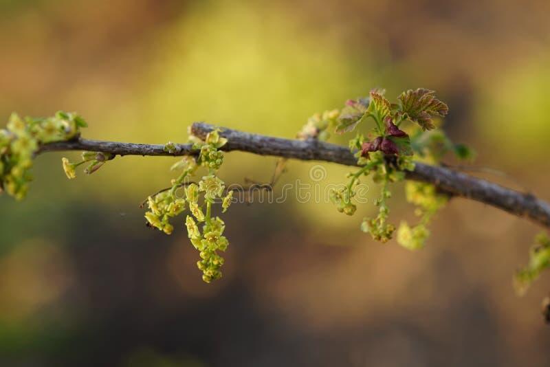 Kwitnący młody agrest w wiosna ogródzie przy zmierzchem fotografia stock