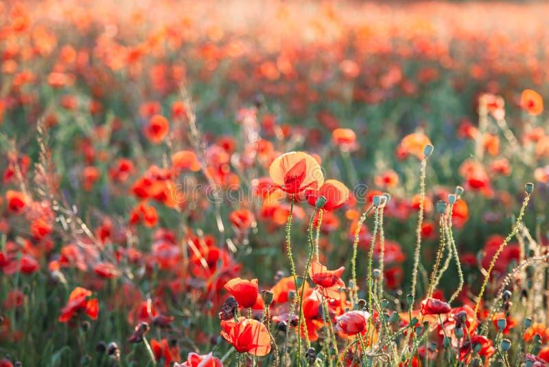 Kwitnący maczka pola Papaver Rhoeas w Chisinau, Moldova zdjęcie stock