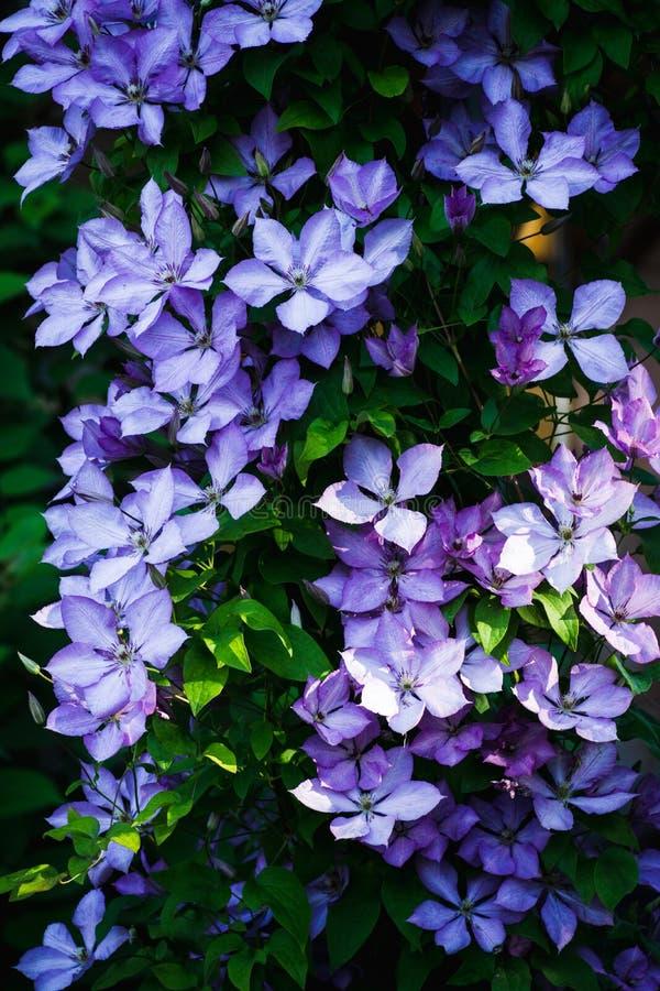 Kwitnący ` Margaret polowania ` clematis w ogródzie obraz stock