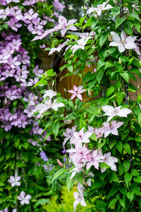 Kwitnący ` Margaret polowania ` clematis w ogródzie zdjęcia stock