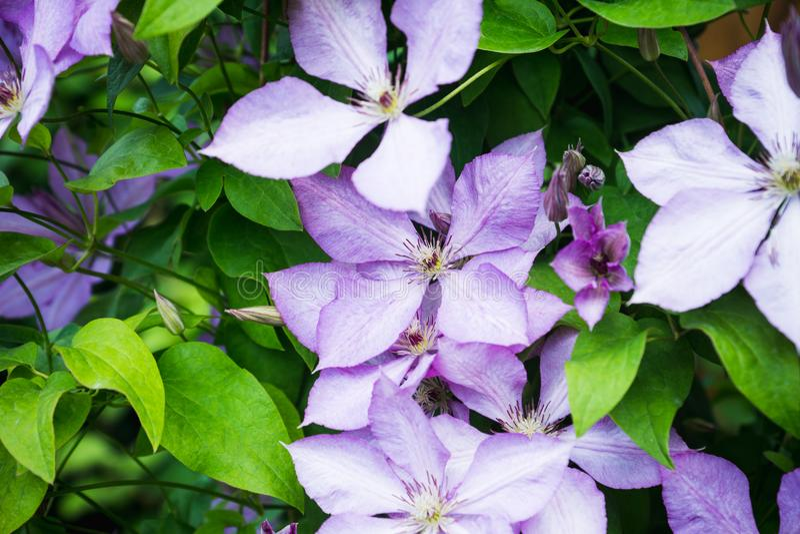 Kwitnący ` Margaret polowania ` clematis w ogródzie fotografia stock