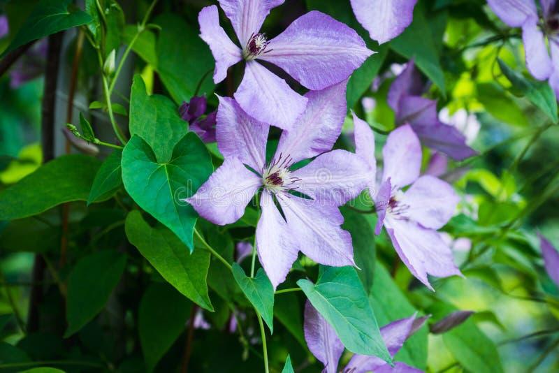 Kwitnący ` Margaret polowania ` clematis w ogródzie fotografia royalty free