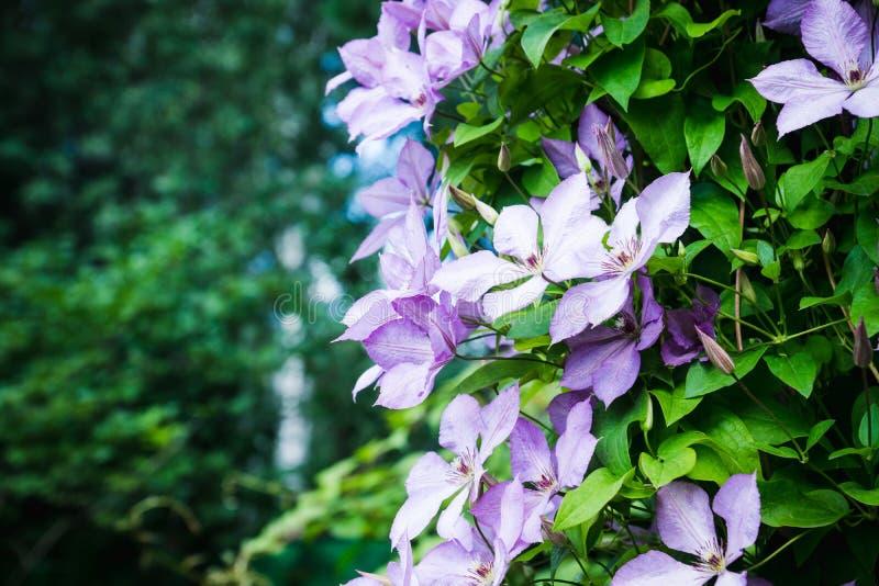 Kwitnący ` Margaret polowania ` clematis w ogródzie obraz royalty free