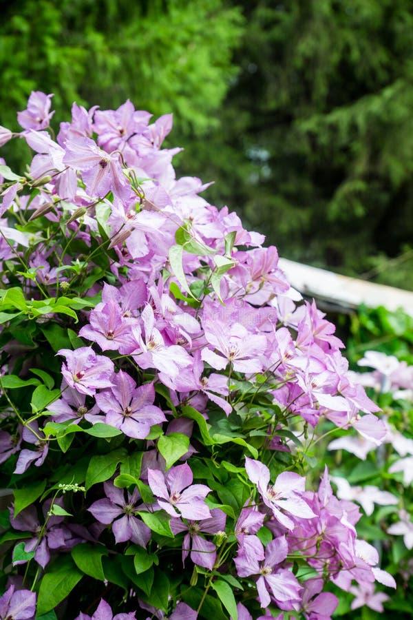 Kwitnący ` Margaret polowania ` clematis w ogródzie obrazy stock