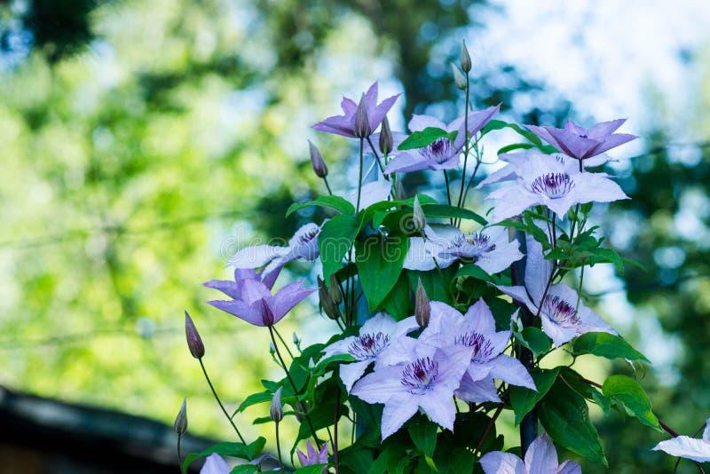 Kwitnący ` Margaret polowania ` clematis w ogródzie zdjęcie stock