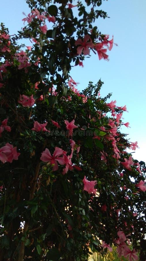 Kwitnący menchia kwiat na nieba tle zdjęcie stock