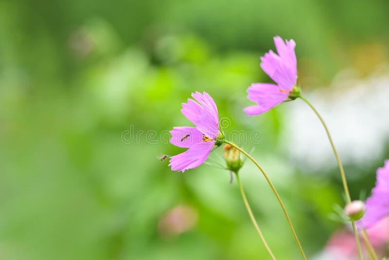 Kwitnący menchia kwiatu kosmosy w odpowiadają ogród obraz royalty free