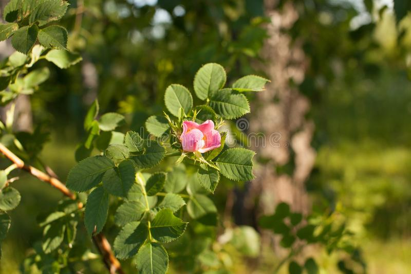 Kwitnący menchii róży kwiat różani biodra na gałąź zdjęcie royalty free
