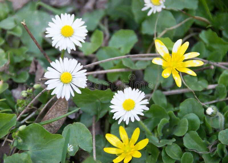 Kwitnący odwiecznie kwiaty w lesie fotografia stock
