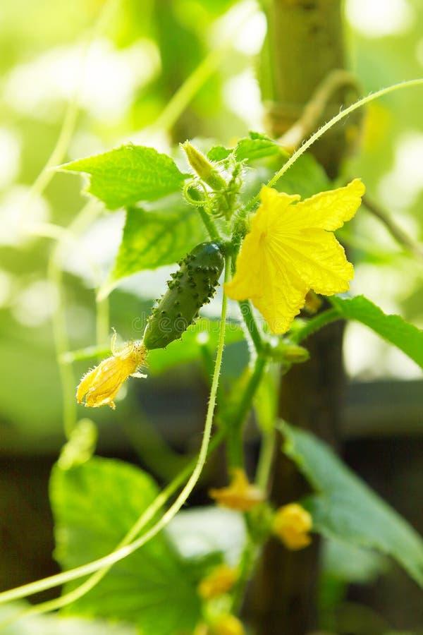 Kwitnący ogórki w ogródzie Selekcyjna ostrość obrazy stock