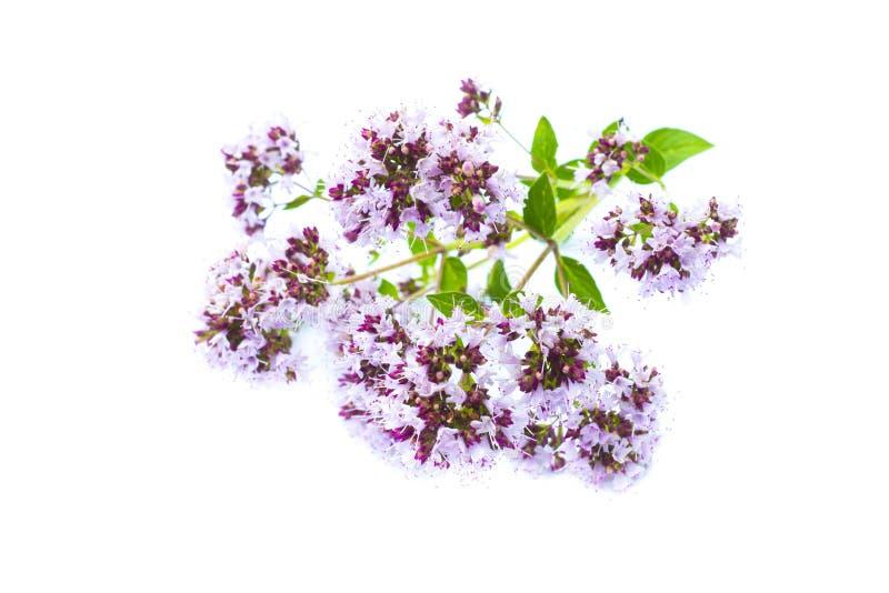 Kwitnący oregano, dzikie lebiodki, origanum vulgare, kwiatonośna roślina odizolowywająca na białym tle obraz stock