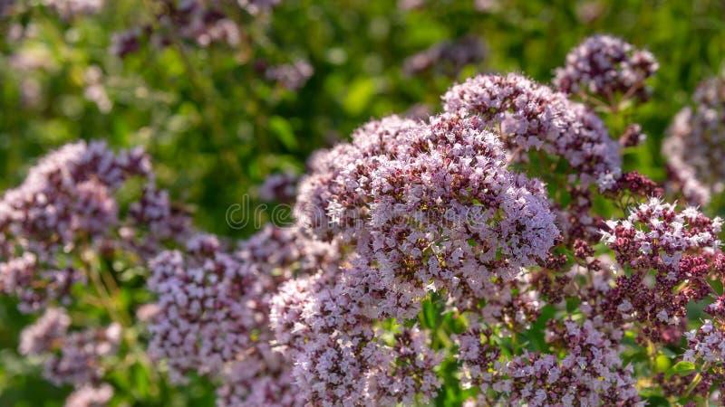 Kwitnący oregano w ogródzie w górę zdjęcie stock