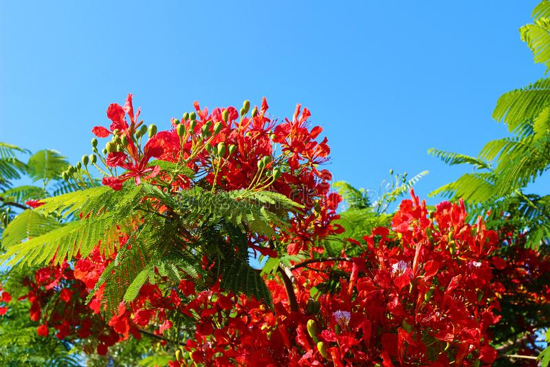 Kwitnący płomienia drzewo, królewski poinciana Delonix regia w kurortu ogródzie Tropikalni dekoracyjni endemiczni drzewni gatunki zdjęcie stock