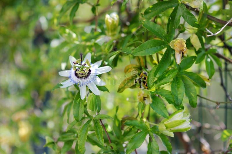 kwitnący passionflower zdjęcia stock