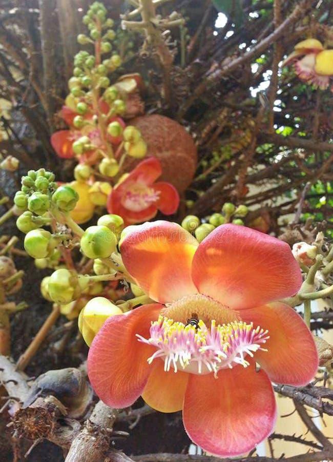 Kwitnący piękna Sal kwitnie z małym pszczoły, zakończenia i natury Cannonball lekkim drzewem, Sal drzewo, Sal India, Couroupita obraz royalty free