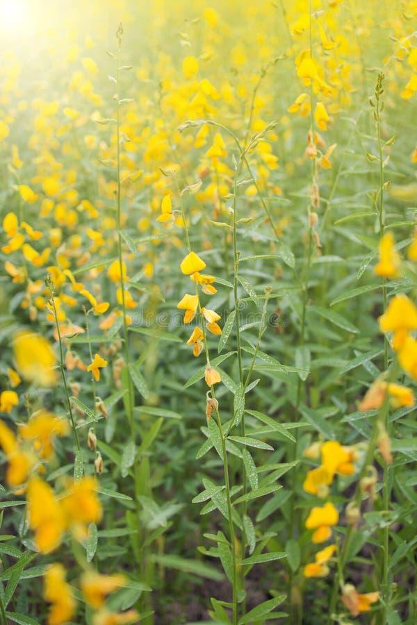 Kwitnący piękny śródpolny żółty kwiat Crotalaria Juneau z kropli wodą, sunn konopie, Indiański konopie, Madras konopie, brown kon fotografia stock