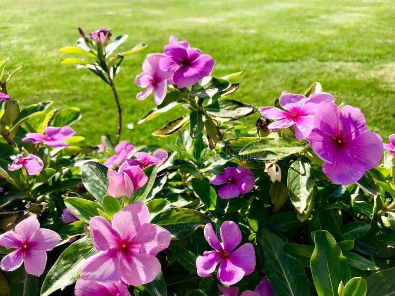 Kwitnący piękny kwiat z zielonymi liśćmi, żyje naturalną naturę fotografia stock