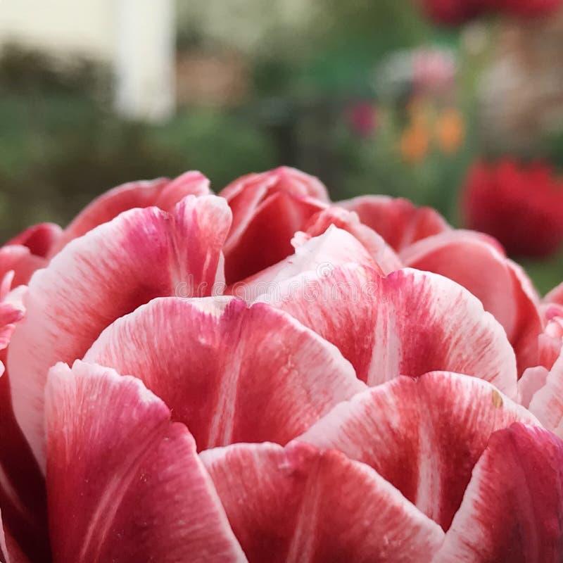 Kwitnący piękny kwiat z zielonymi liśćmi, żyje naturalną naturę zdjęcie royalty free
