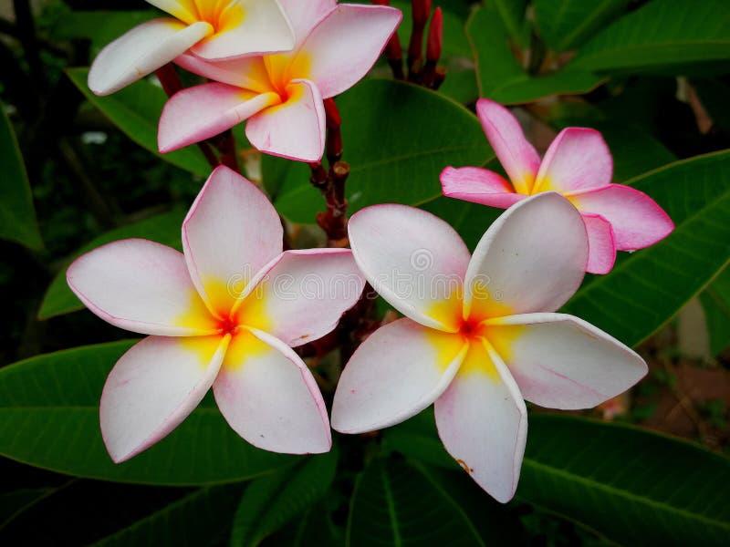 Kwitnący plumeria albra zdjęcie royalty free