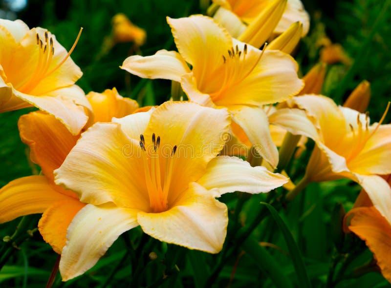 Kwitnący pomarańczowy lelui zakończenie fotografia royalty free