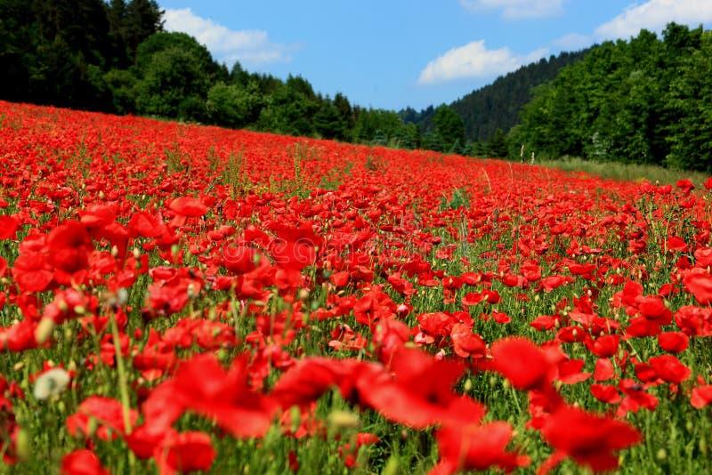 Kwitnący poppyfield zdjęcia royalty free