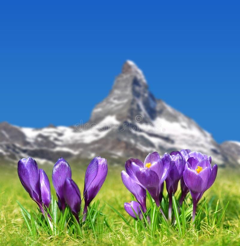 Kwitnący purpurowi krokusów kwiaty na halnej łące w tle wspinają się Matterhorn zdjęcie stock