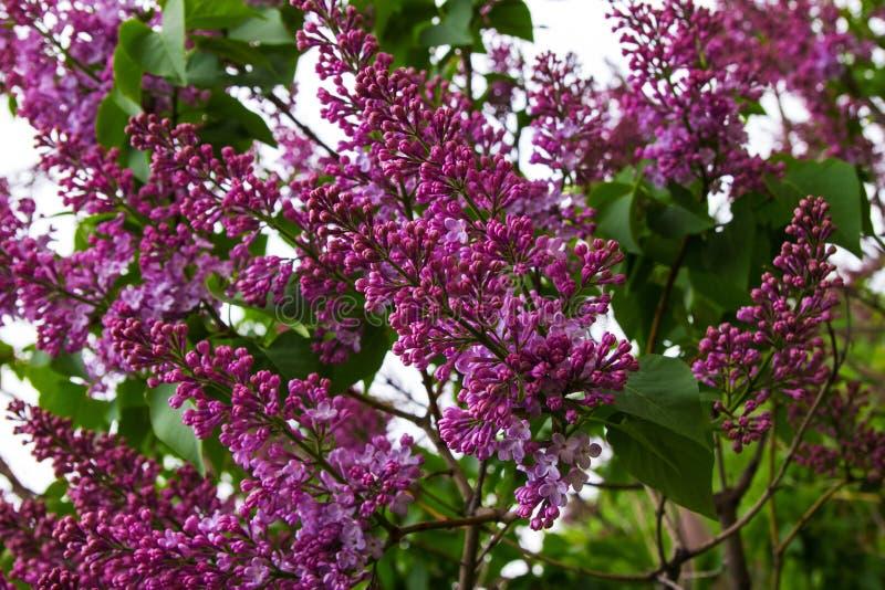 Kwitnący purpurowi kwiaty lily drzewo zdjęcie stock