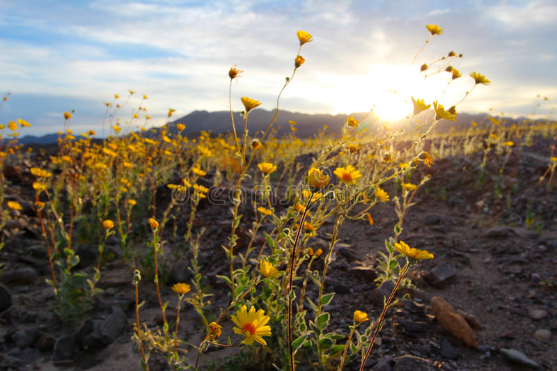 Kwitnący pustynni słoneczniki, Śmiertelny Dolinny park narodowy, usa (Geraea canescens) fotografia stock