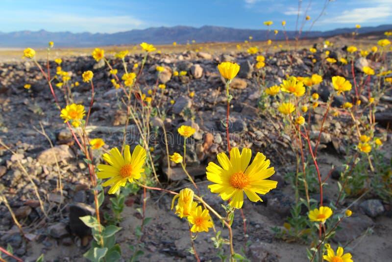Kwitnący pustynni słoneczniki, Śmiertelny Dolinny park narodowy, usa (Geraea canescens) zdjęcie royalty free