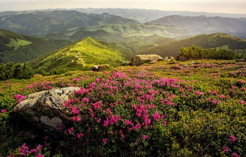 Kwitnący różaneczniki w górach LATO krajobraz obrazy royalty free
