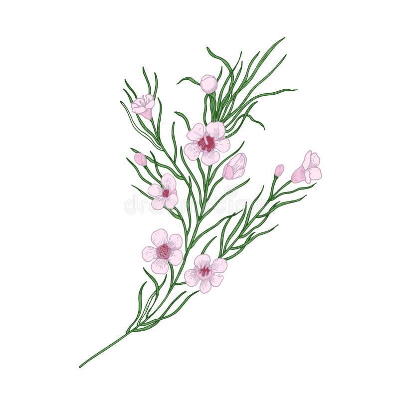 Kwitnący różowi Geraldton wosku kwiaty odizolowywający na białym tle Elegancki naturalny rysunek wspaniały kultywujący ilustracji
