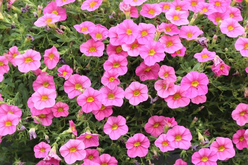 Kwitnący różowy calibrachoa kwitnie w ogródzie zdjęcie royalty free