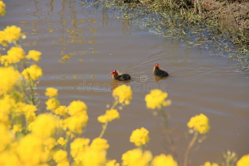 Kwitnący rapeseed i dwa potomstwa ones Eurazjatycki Coot, Fulica Atra w stawie w wiośnie obrazy royalty free