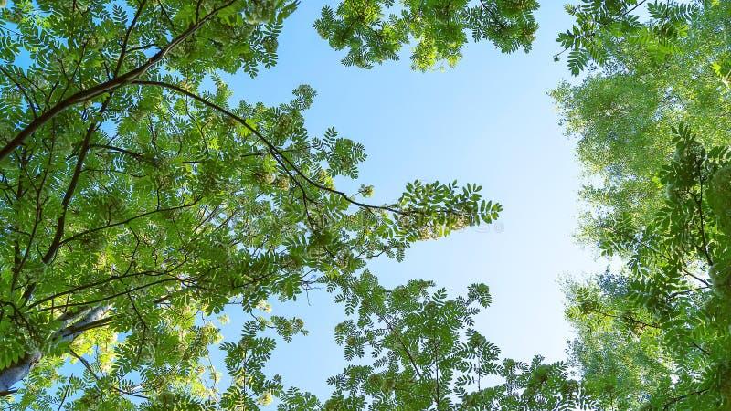 Kwitnący Rowan Sorbus Aucuparia I brzoz drzew baldachim, Koronuje Przeciw Jasnemu niebieskiemu niebu Niskiego k?ta widok Zmiana s zdjęcia royalty free