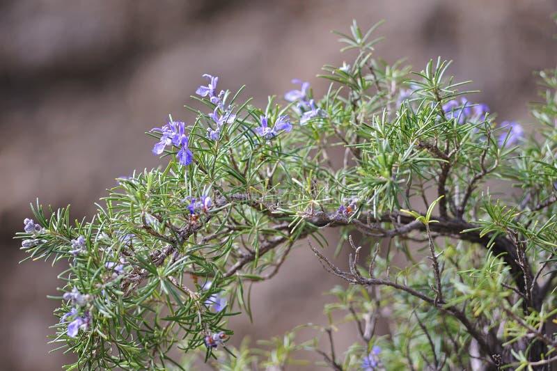 Kwitnący rozmaryny zdjęcia stock