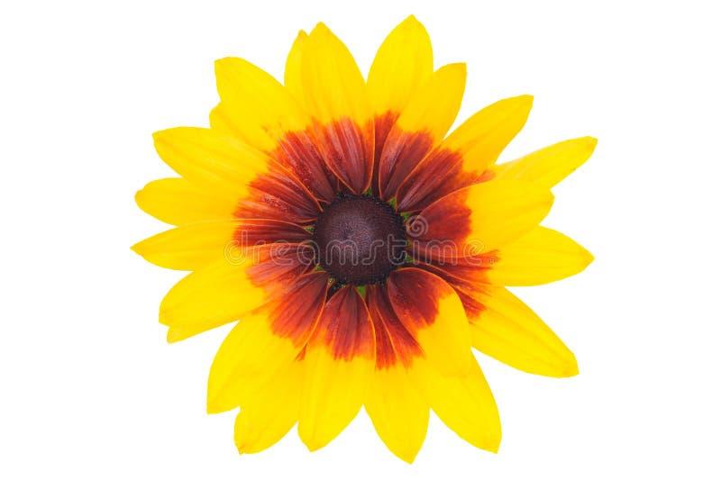 Kwitnący Rudbeckia kwiat fotografia royalty free