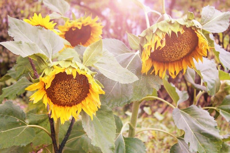 Kwitnący słoneczniki w promieniach niski wieczór słońce Backlight światło słoneczne zdjęcie royalty free