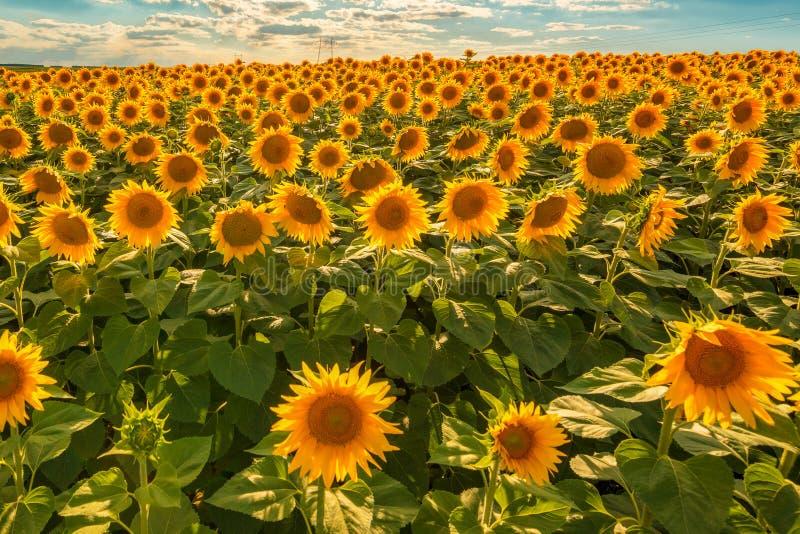Kwitnący słonecznikowy uprawy pole zdjęcie stock
