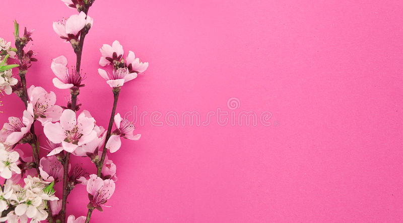 Kwitnący Sakura, wiosna kwitnie na różowym tle