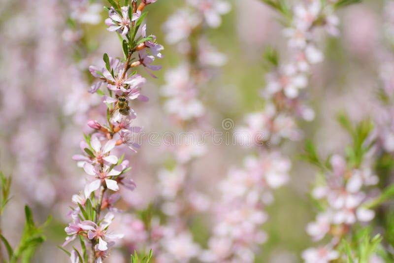 Kwitnący stepowy migdałowy Prunus tenella Naturalny rośliny tło z różowymi kwiatami obrazy stock