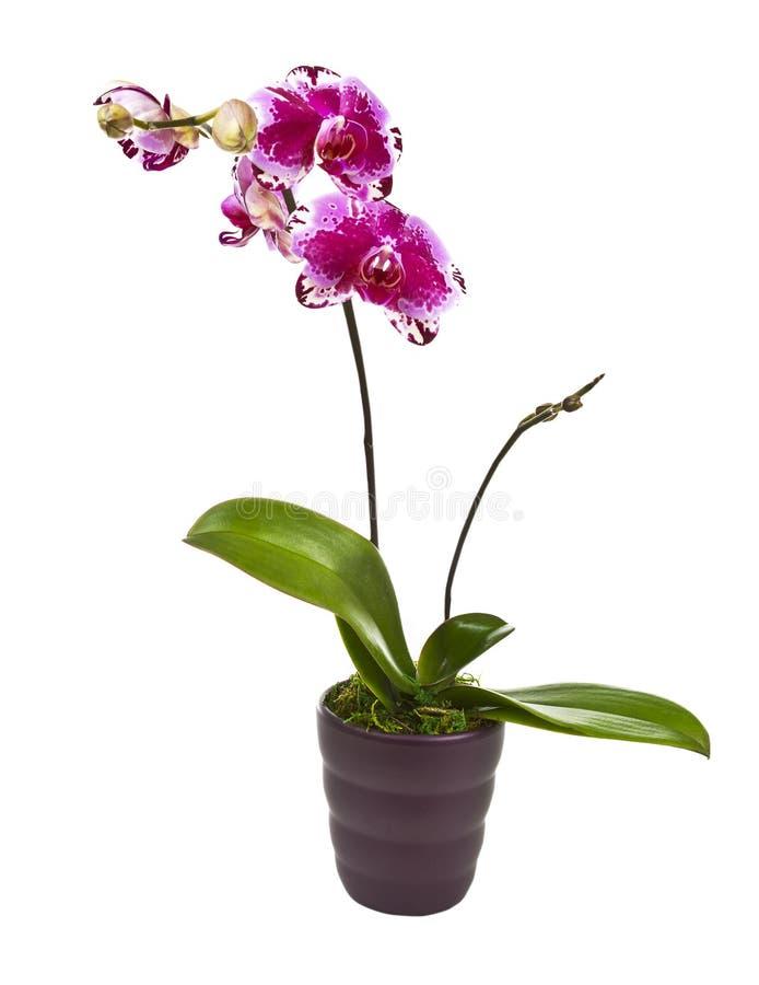 kwitnący storczykowy garnek zdjęcie stock