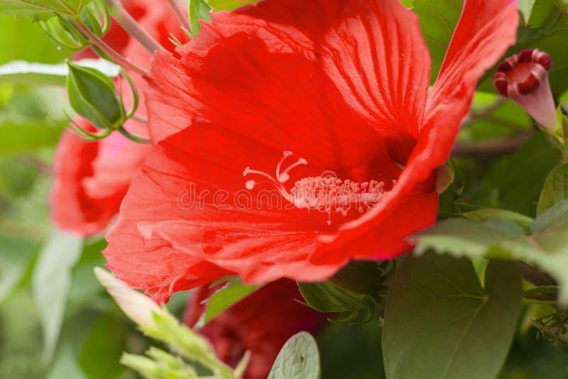 kwitnący tropikalny kwiat zamknięty w górę fotografia stock