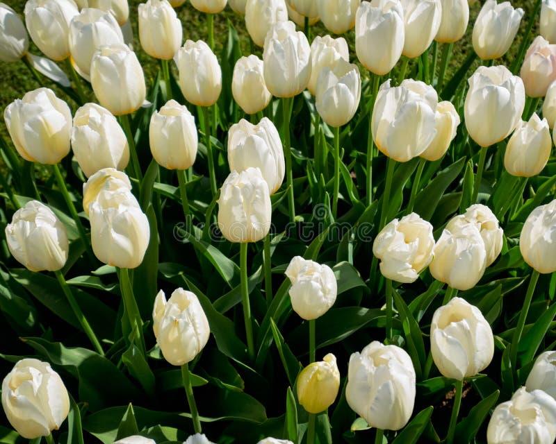Kwitnący tulipanu flowerbed w Keukenhof kwiatu ogródzie, Netherland obraz stock