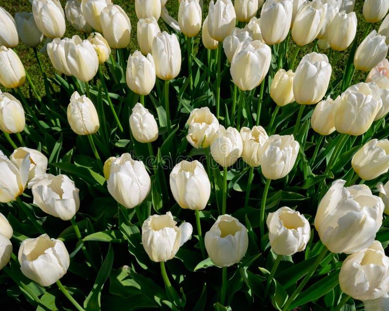 Kwitnący tulipanu flowerbed w Keukenhof kwiatu ogródzie, Netherland zdjęcia royalty free