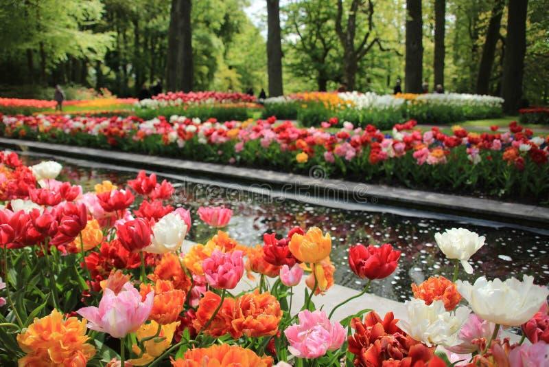 Kwitnący tulipany w wiośnie obrazy stock