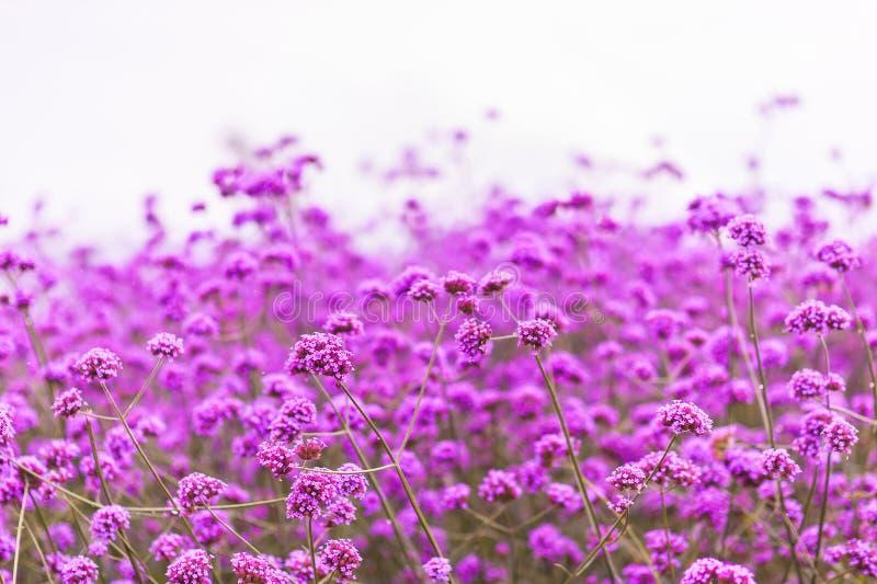 Kwitnący Verbena pole na lato zmierzchu zdjęcia royalty free